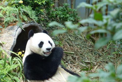 500xNxgiant-panda-yangtze-river.jpg.pagespeed.ic.2wzKqF3emO
