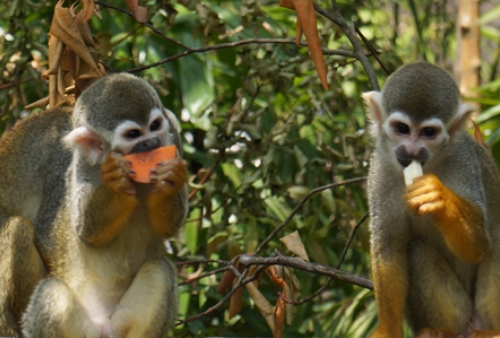 squirrel-monkey-feeding-time-river-safari-singapore2
